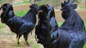مرغ ایام سمانی عجیب ترین و گران ترین انواع مرغ در جهان است .. !!