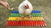 آزمایش فندک مقابل مرغ