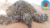 تمیز کردن لاکپشتهای دریایی
