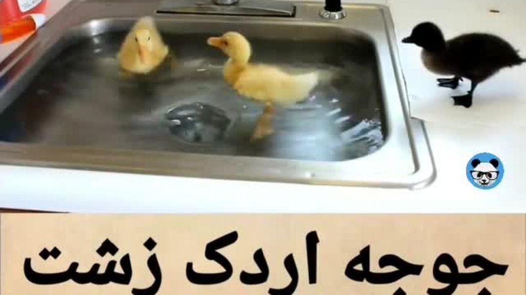جوجه اردک زشت شنا بلد نیست!